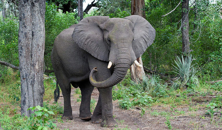 An African elephant wanders past the trees