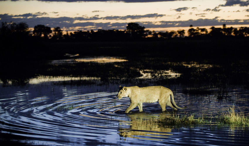 A lion braves the shallow waters at dusk