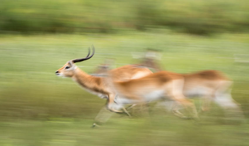Lechwe have unique hooves that enable them to run through water