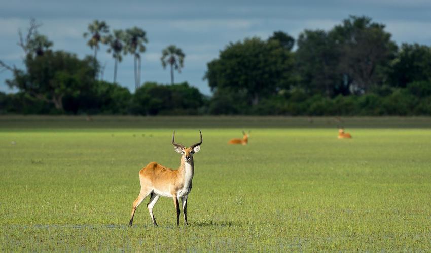 The area has abundant herds of lechwe