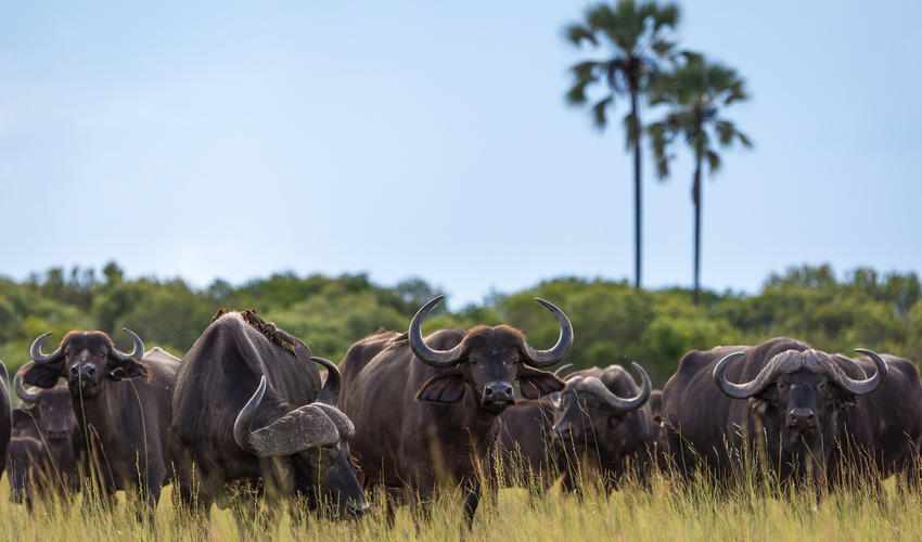 Buffaloe herd