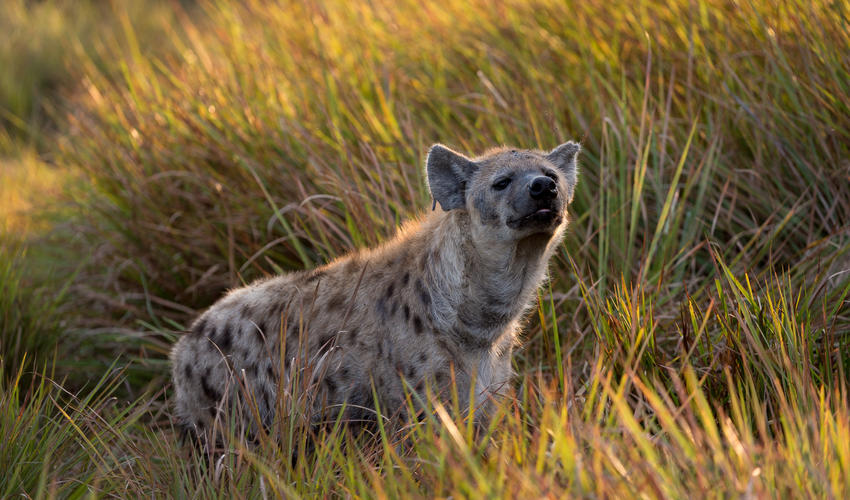 Hyaena moving through the long grasses