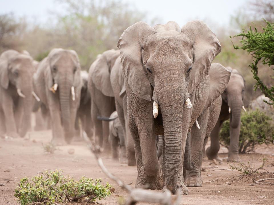Größte Elefantenherden auf privatbesitztem Land in Afrika
