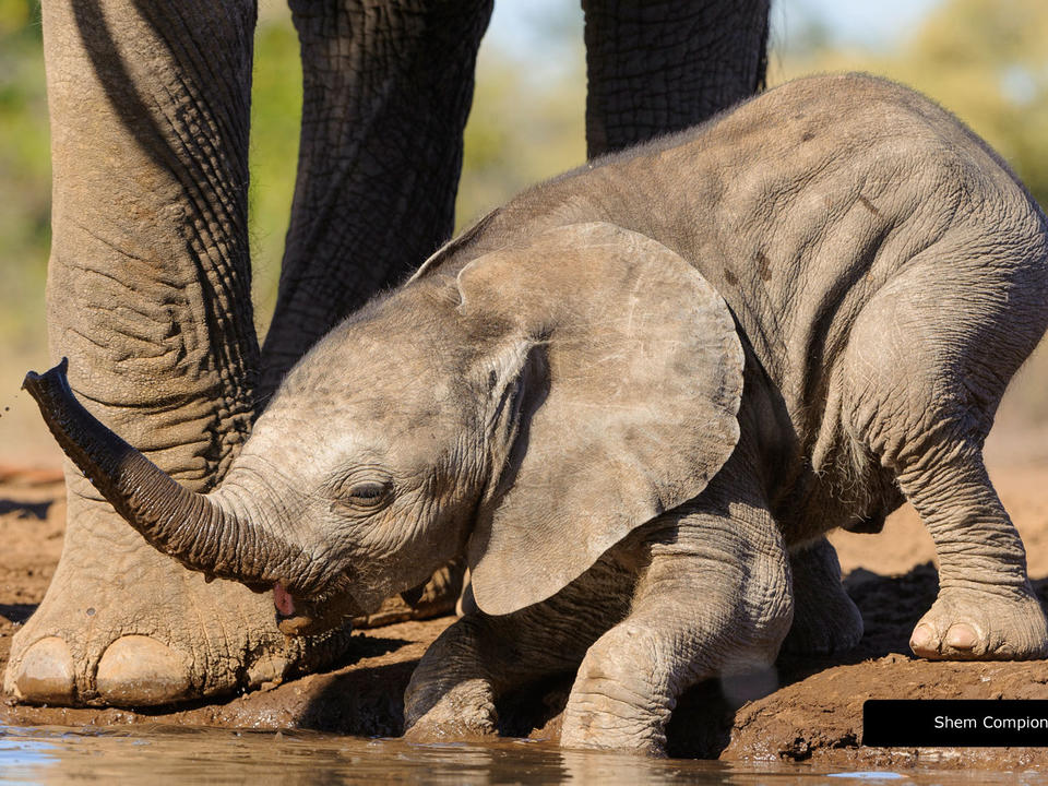 Seen here, a baby elephant at ground level from the photographic hide