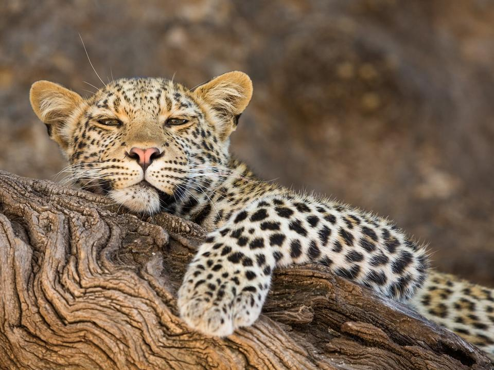 Leopard in Mashatu