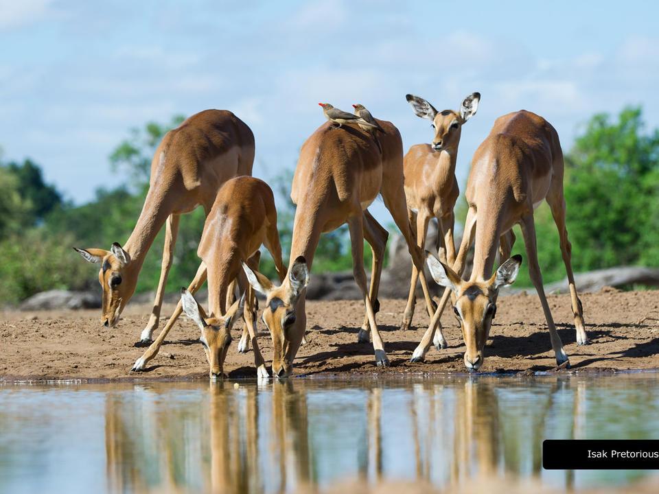 Impalas am Wasser