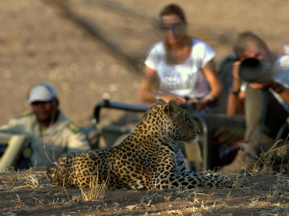 Tägliche Sichtungen von Leoparden bei Mashatu