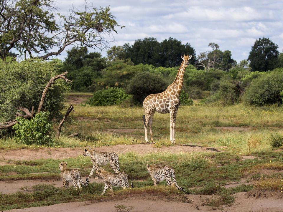 Mashatu hat eine sehr niedrige Bodenbedeckung und daher können die Gäste das ganze Tier bei jeder Sichtung sehen