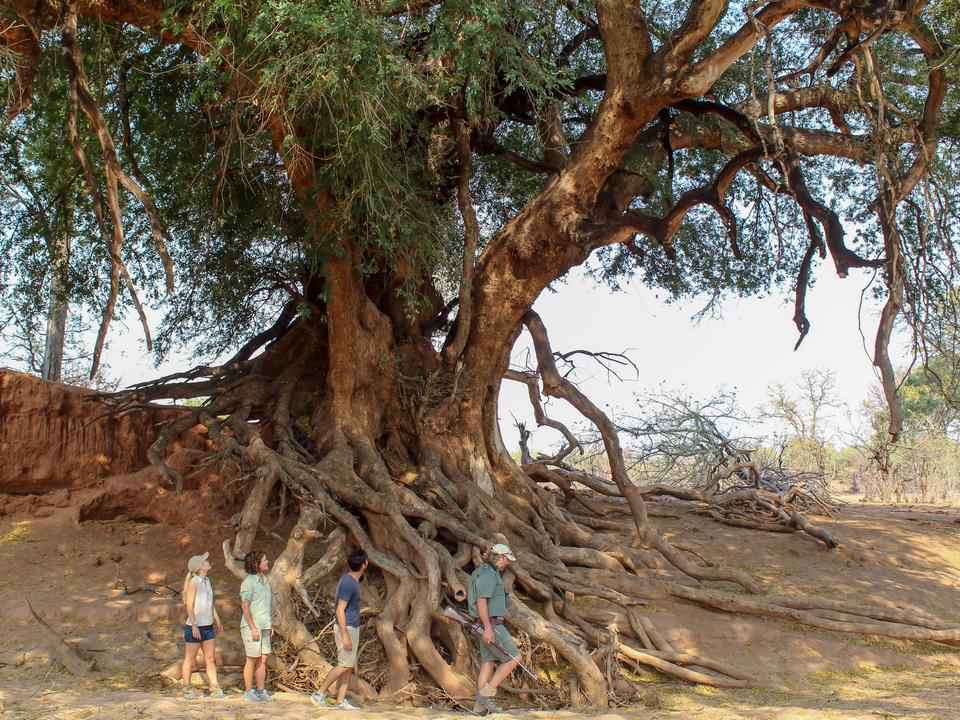 zu Fuß unter einem riesigen Mashatu Baum (Nyala Berry Tree)