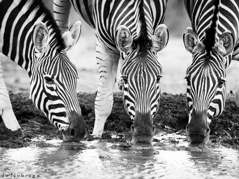 Zebra in Mashatu