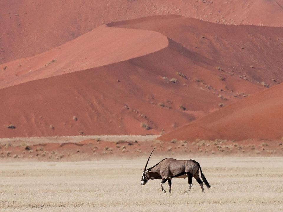 Oryx sind so ikonisch wie die Dünen von Sossusvlei