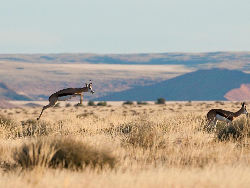 Springbok sind eine charakteristische Antilopenart, die an trockene Bedingungen angepasst ist
