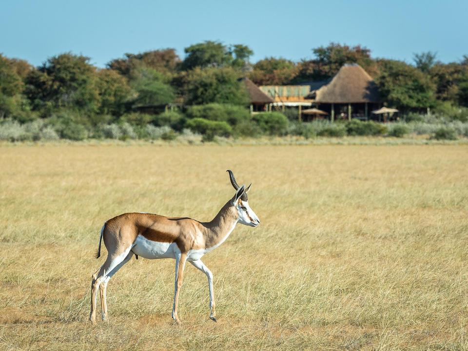 Ein Springbok auf der offenen Ebene
