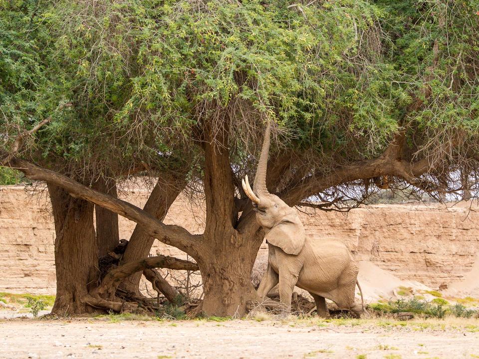 Elefant ernährt sich von Samenkopfen