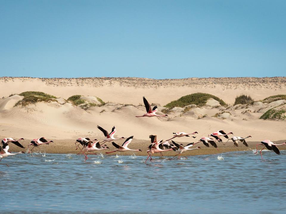 Flamingos an der Mündung des Flusses Hoanib