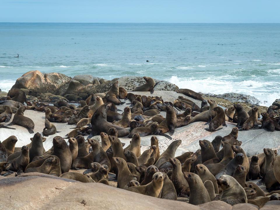 Robbenkolonie am Atlantik