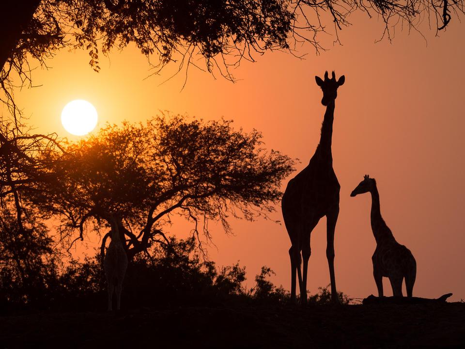 Giraffe bei Sonnenuntergang