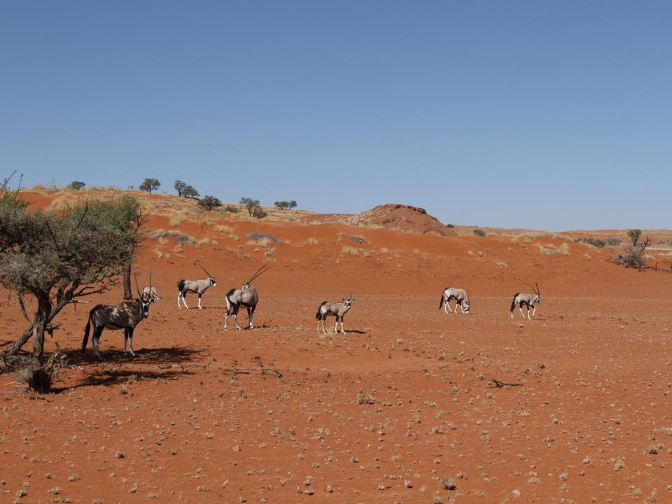 Oryx-Antilopen in ihrem natürlichen Habitat