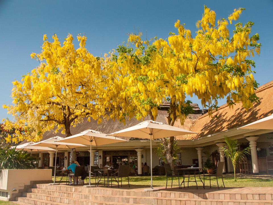 Palm Restaurant Ilala Lodge - mit indischem Laburnum Baum in Blume