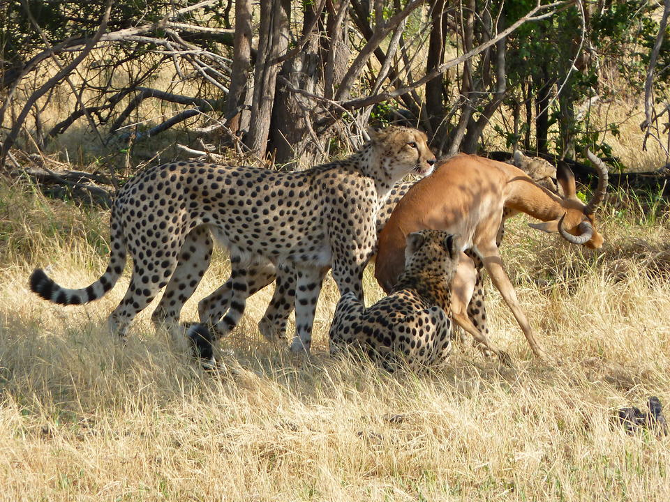 Geparden mit Impala