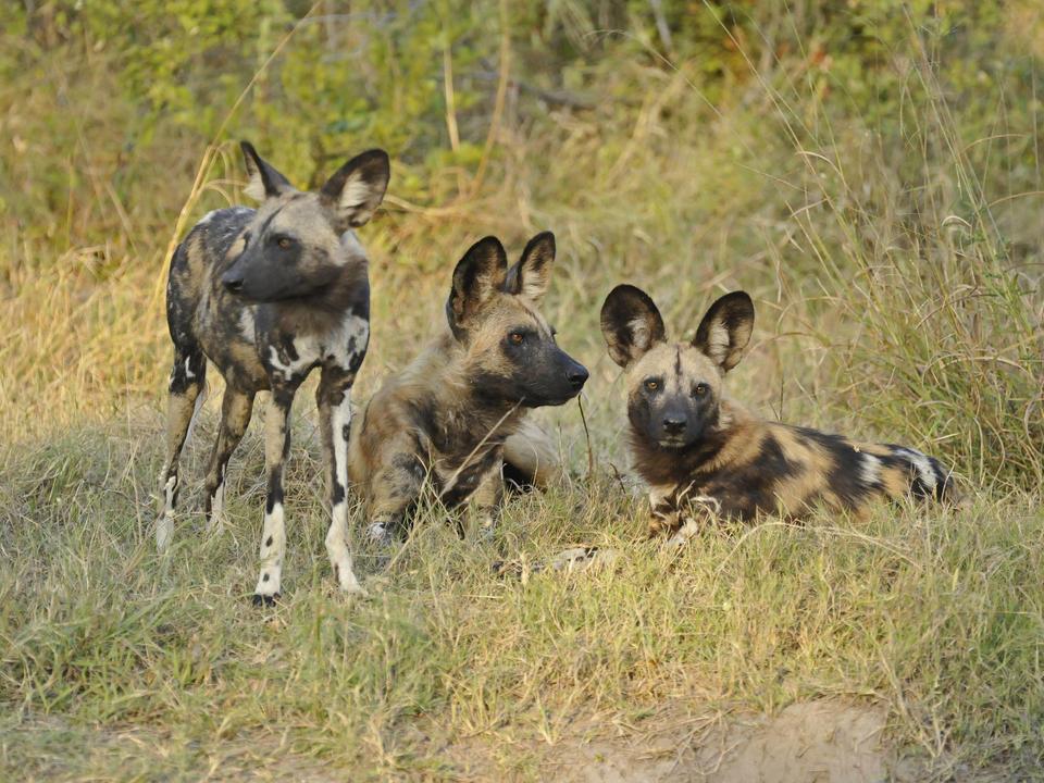 Wilde Hunde