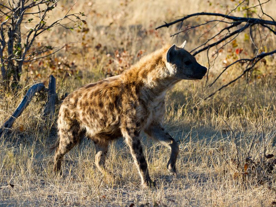 Gefleckte Hyänen