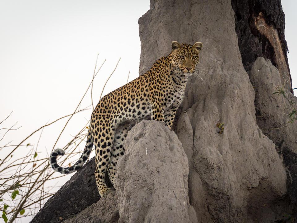 Leopard nutzt den Aussichtspunkt eines Termitenhügels
