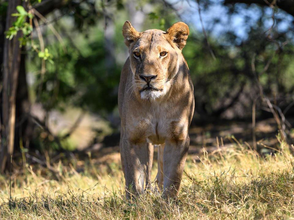 Eine imposante Löwin von einem der lokalen Stühler