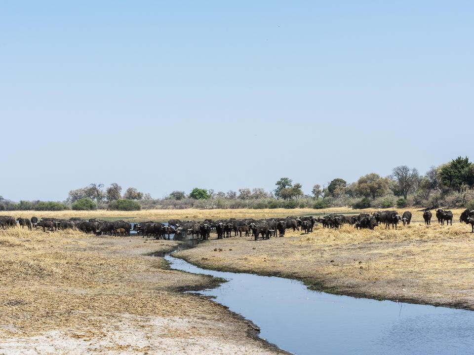 Eine riesige Büffelherde am Savuti-Kanal