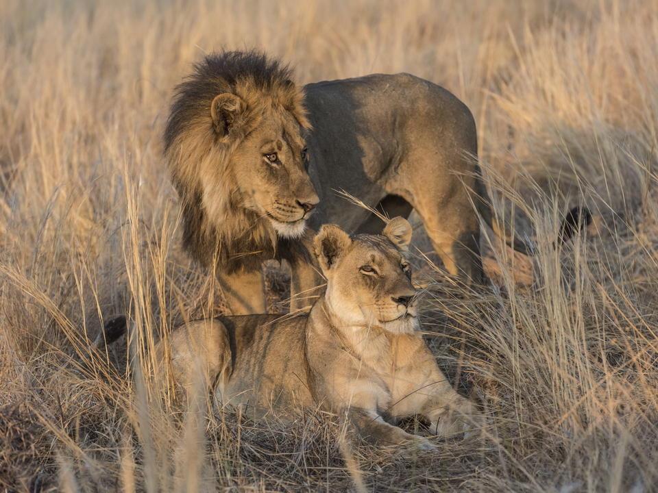 Löwen-Interaktion