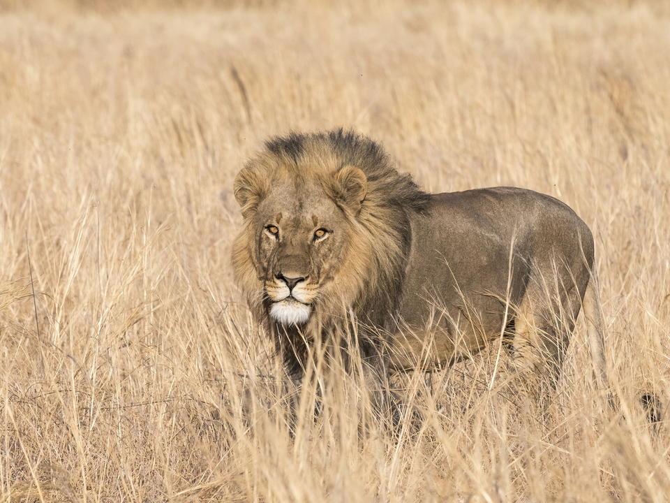 Ein großer männlicher Löwe auf der Jagd