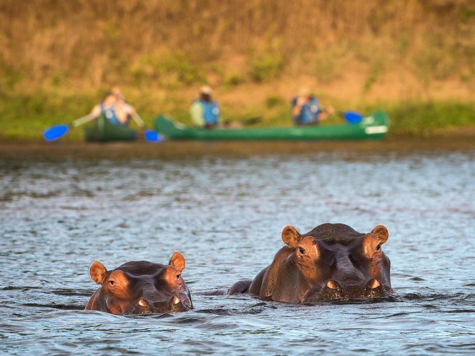 Nilpferd von einem Kanu-Aktivität gesehen