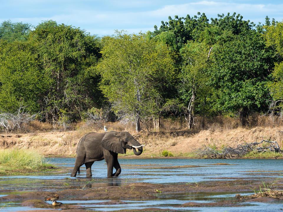 Elefant überquert einen flachen Abschnitt des Sambesi-Flusses