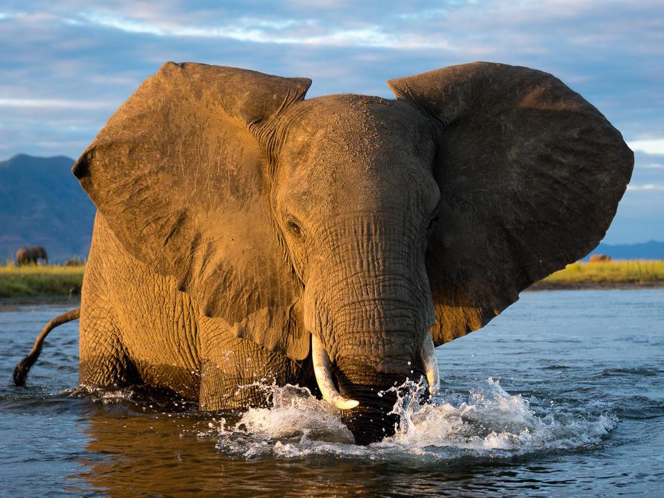 Goldene Stunde Elefant