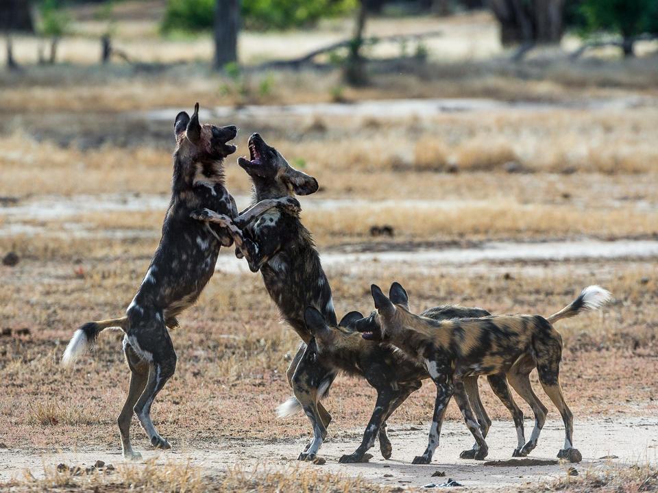 Spielerische wilde Hunde