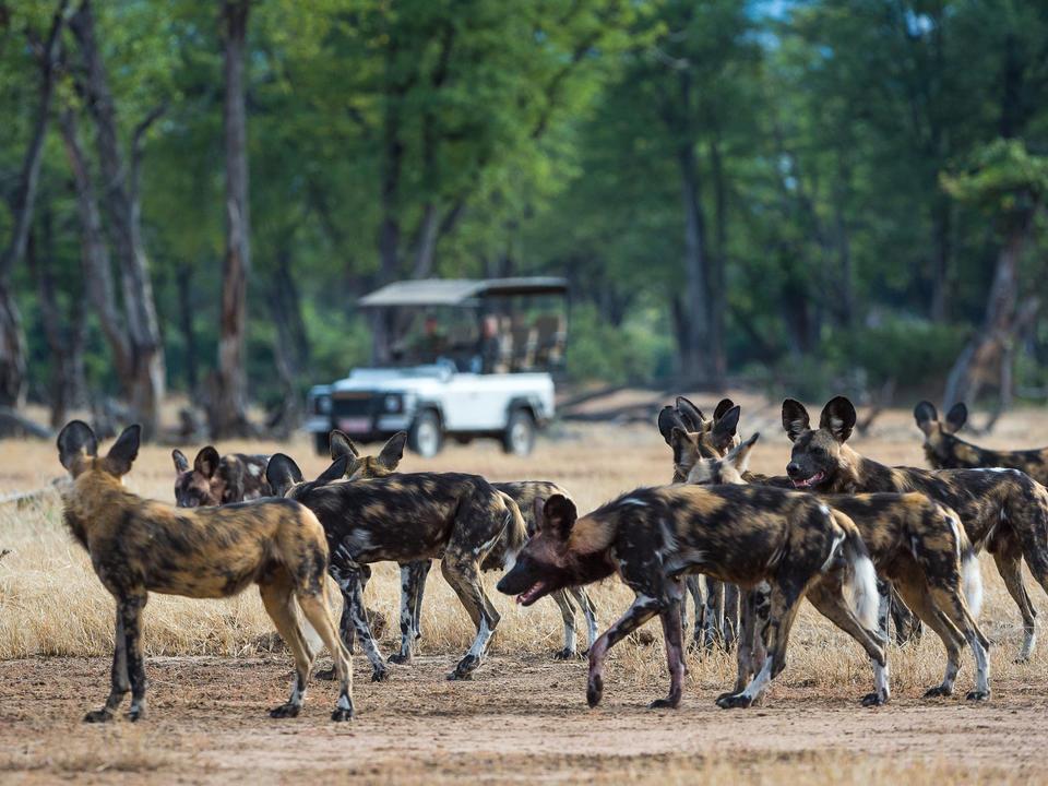 Wild Dog Pack Vorbereitung auf eine Jagd