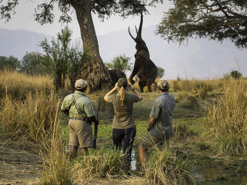 Elefantenfütterung auf Ana-Baum-Schoten