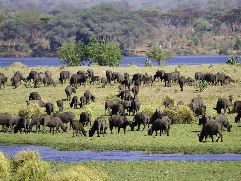 Buffalo grasen auf einer Insel im Fluss Sambesi