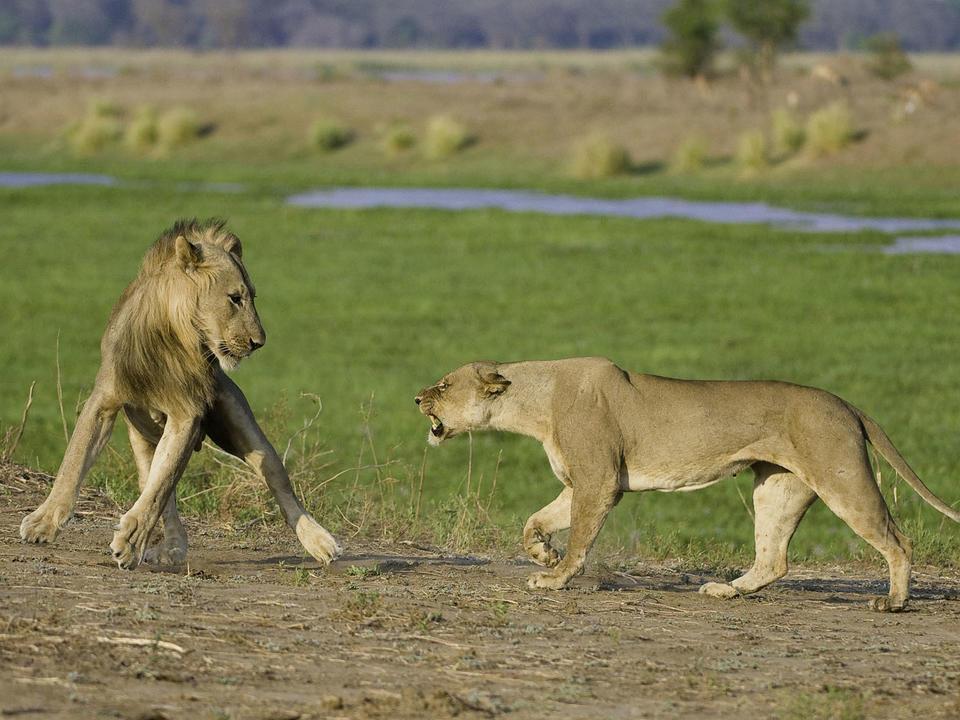 Der residierende Löwe Stolz kann oft gesehen werden, während Sie auf einer Pirschfahrt unterwegs sind.