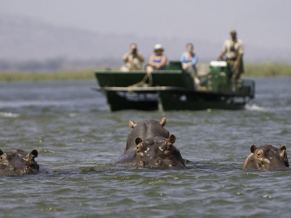 Nilpferd ist eine regelmäßige Sichtung im Sambesi Fluss