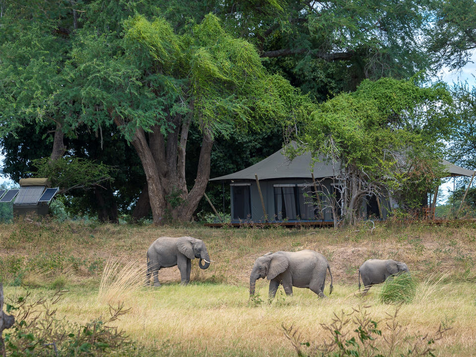 Elefant ernährt sich auf der Aue vor einem Gästebelt