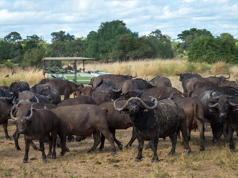 Büffel auf der Aue hinter dem Lager