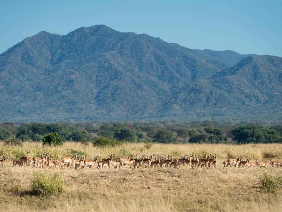 Impala gedeihen im Mana Pools Nationalpark