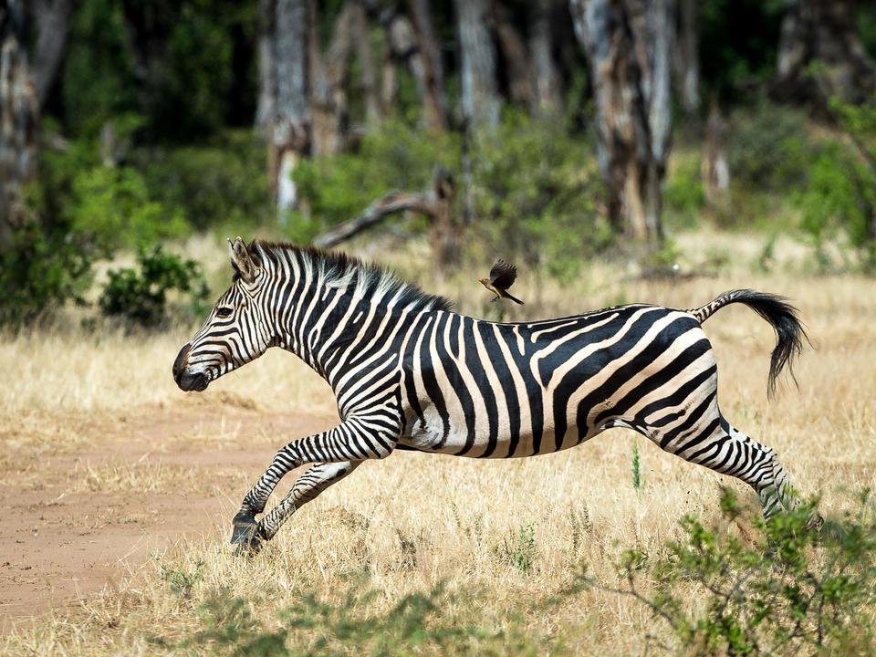 Zebra mit Oxpeckern Passagier