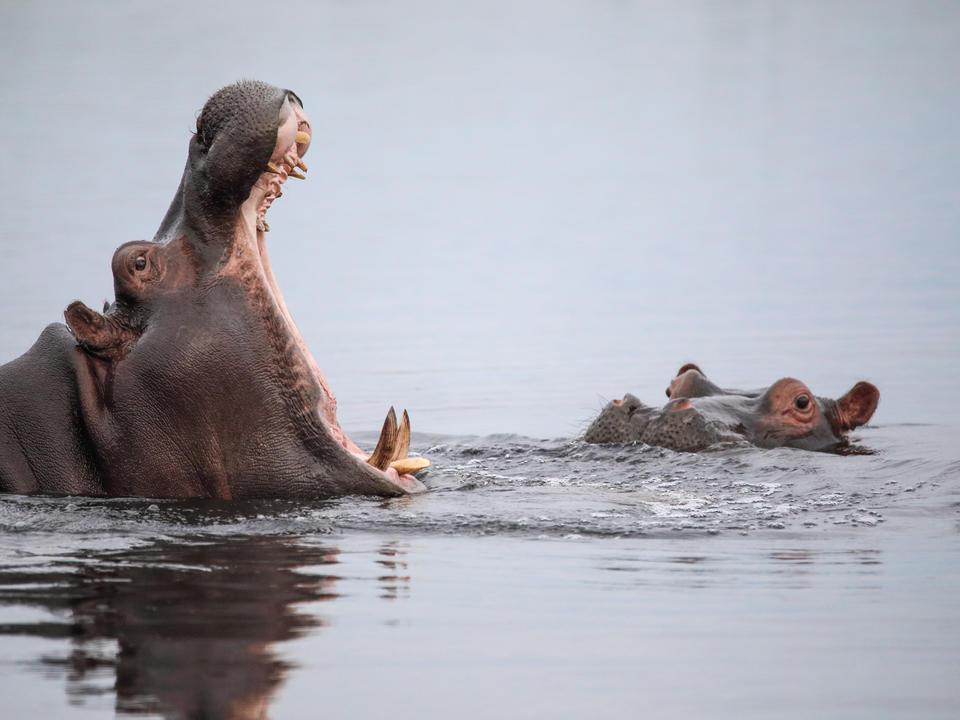 Das berühmte Nilpferd Gähnen