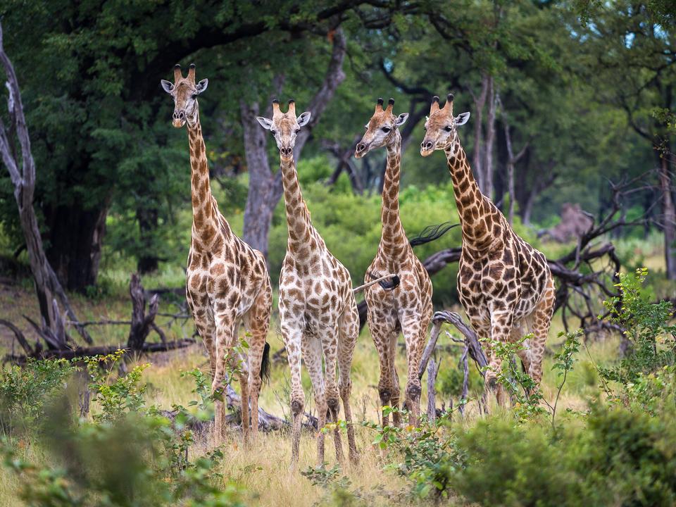 Giraffe machen ihren Weg durch den Wald