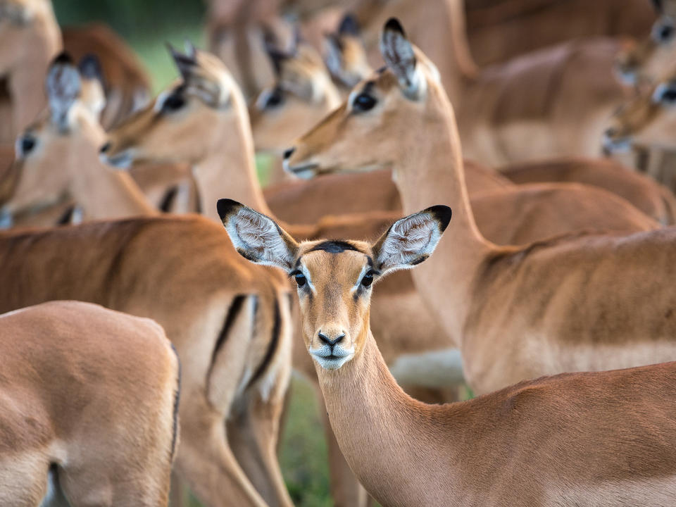 Impala sind reichlich in der Linyanti