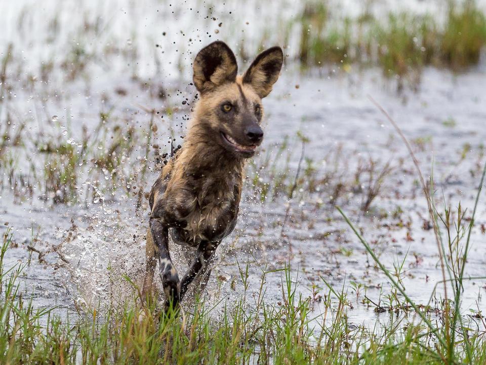 Ein wilder Hund spritzt durch den Kanal