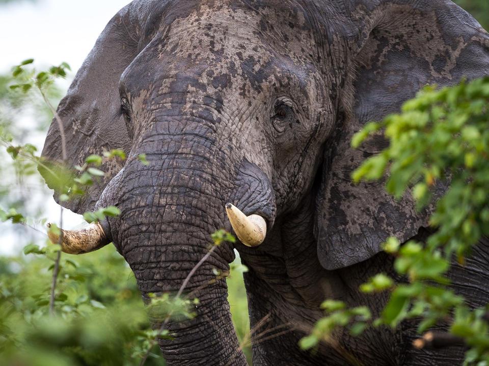 Elefanten sind regelmäßig in der Nähe des Lagers zu sehen