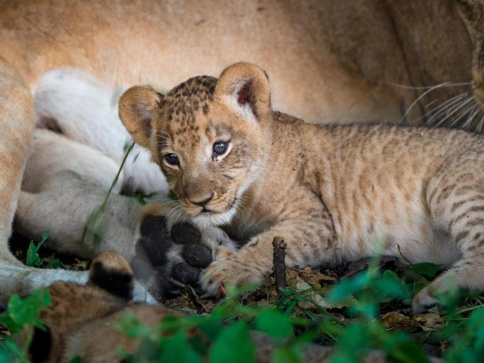 Kleines Löwenjunges